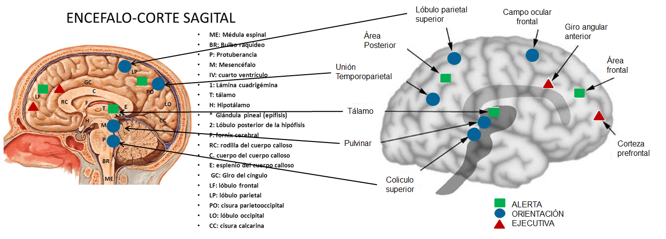 Index of /cursos/neurociencias/atencion/img/